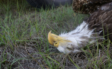 Wind Farms and Eagle Deaths: The Dilemmas of Green Energy