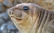Elephant Seals Mysteriously Contract Swine Flu