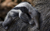 Mysterious Anteater Birth is Ripe for an Anteater-Themed Soap Opera