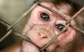 South Carolina Lab Under Fire for Gruesome Primate Deaths