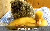 Daily Cute: Owl Can't Bear to be Alone, Gets Naptime Buddy