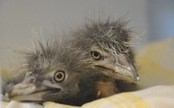 Snowy Egret and Heron Babies Saved from Fallen Tree