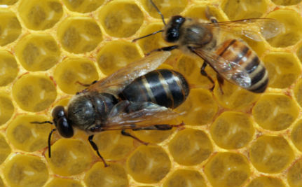 'Sniffer Bees' Hunt for Landmines in Croatia