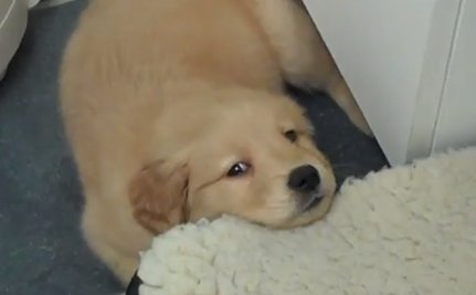 Daily Cute: Puppy Ashamed of His Hiccups