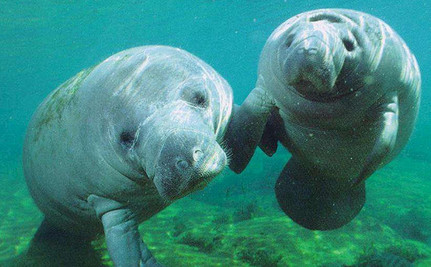 Florida Man Under Investigation for Jumping on Manatees