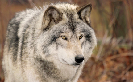 Feds Postpone Plans to Delist Wolves Indefinitely