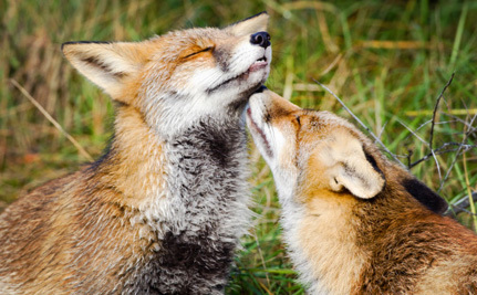 Will 'Regulating' Captive Fox Hunting Do Anything to Stop the Cruelty?