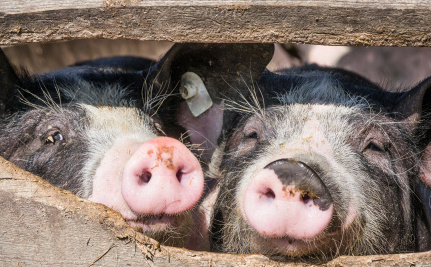 There is Poop on Your Pork, and Government Inspectors Don't Care
