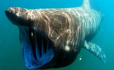 It's Hard to Hide Sharks as Big as Double-Decker Buses – So Where are They?