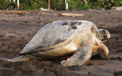 Activist Murdered for Protecting Sea Turtles