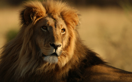 Lions in South Africa Bred to Be Murdered