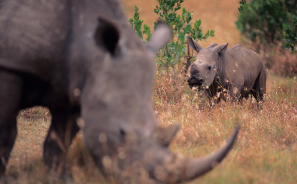 Bloodiest Week for Rhinos Ever?