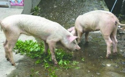 Two Pigs Survive Under Rubble of Major Earthquake for 45 Days