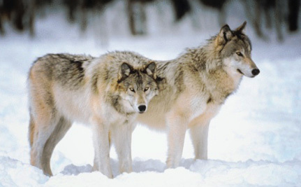 After Promising Not To, Government Tries to Delist Wolves Again