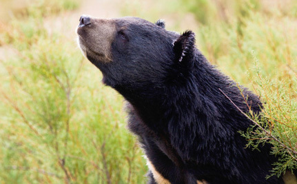 Bear Bile Company Cancels Plans for Expansion Following Outcry