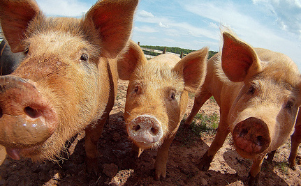 Top 10 Reasons to Leave Pigs Off the Menu