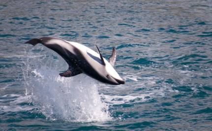 New Zealand Pressured to Save World's Rarest Dolphins