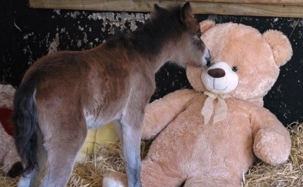 Orphaned Foal Finds Comfort in Giant Teddy Bear After Rescue