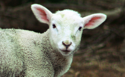 Trio the Three-Legged Lamb Finds Happiness at Sanctuary