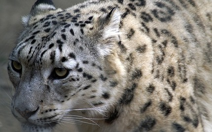 Endangered Snow Leopards Get a Helping Hand from an Unlikely Place