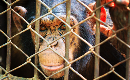 Captive Chimps Could Get Protection as Endangered Species