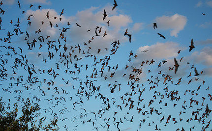 World's Biggest Bat Colony Threatened With Destruction