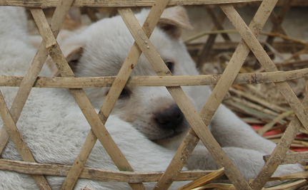 Dog Meat Festival Must End, Say Activists in China