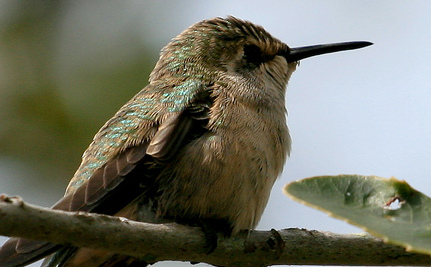 Protected Hummingbird Could Save Unique Park in San Francisco