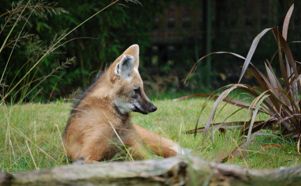 Going to the Dogs: 8 Endangered Canids