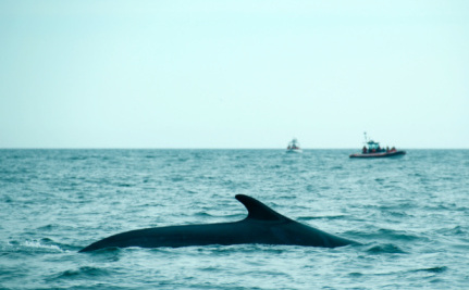 Iceland Resumes Hunting Endangered Fin Whales