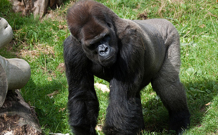 Djala The Silver-Back Gorilla Is Going Home