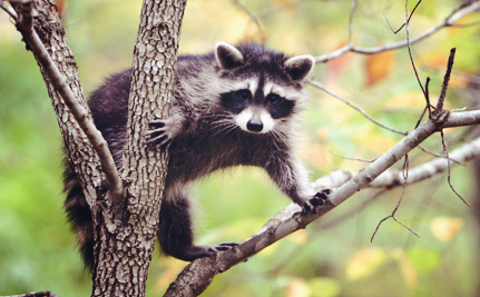 Debate Over Trapping Grows in Montana