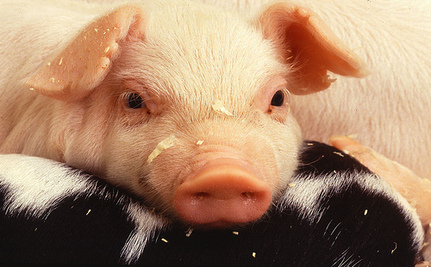Is It Ethical To Grow Human Organs In Live Animals?