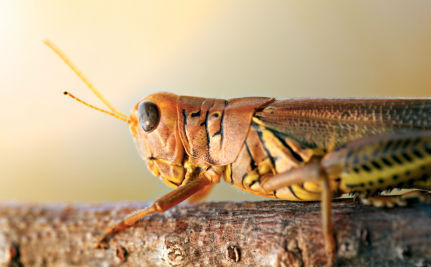 Locust Plagues Are Chewing Madagascar Toward Famine
