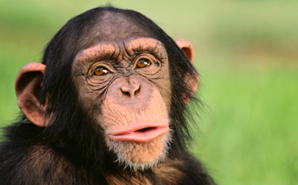 Victory! NIH to Retire Most Research Chimps