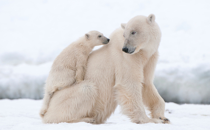 No Polar Bear Trophy Imports to U.S., Says Federal Court