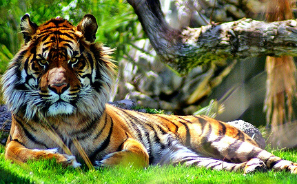 There May Be Fewer Than 400 Sumatran Tigers in the Wild Today
