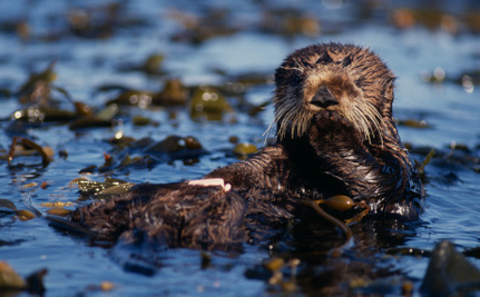 The Last Surviving Otter from the Exxon Valdez Oil Spill Has Died