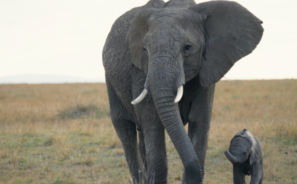 Nuclear Testing's Legacy Could Help Save Elephants