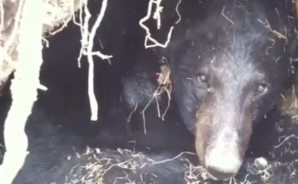 Please Don't Kill The World's Oldest Bear, Asks Minnesota State