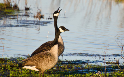 Shocking Canada Goose Culls Come to Light