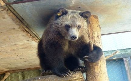 Orphaned Grizzly Bear Finally Gets to Go Home