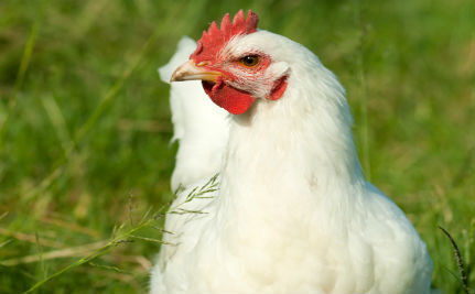 Chicken Therapy: A New Way to Help Alzheimer's Patients