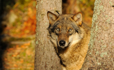 Neither Big Nor Bad, the Wolf Returns to Western Europe