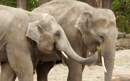 Help Keep Elephant Abuse Out of the Nevada County Fair