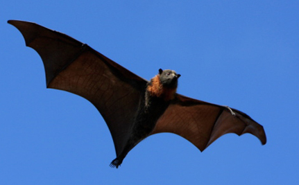 Awesome X-Ray Videos Reveal How Bats Take Off And Fly