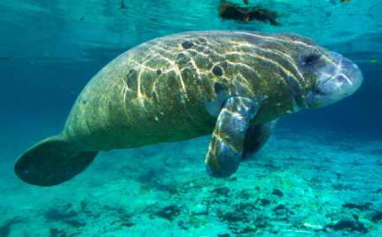 Manatees Are Dying With Suspicious Seaweed in Their Mouths