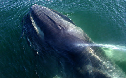 The Search for the World's Loneliest Whale
