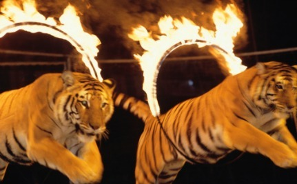 Victory! Belgium Bans Wild Animals in Circuses