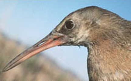 Federally Endangered Clapper Rail Found Dead At Solar Plant